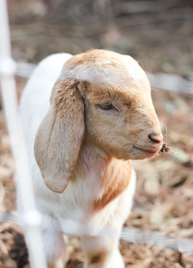 Renting Goats for Ivy Removal: A Follow-Up