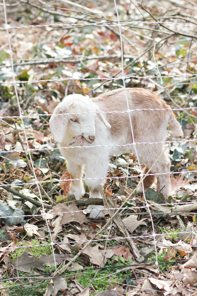 This baby goat was part of the herd that ate our unwanted ivy.