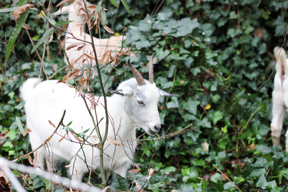 Everything you need to know about renting goats for ivy removal.