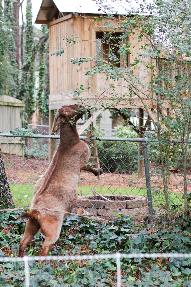 Everything you need to know about renting goats for ivy removal. (Yes, that's a thing!)