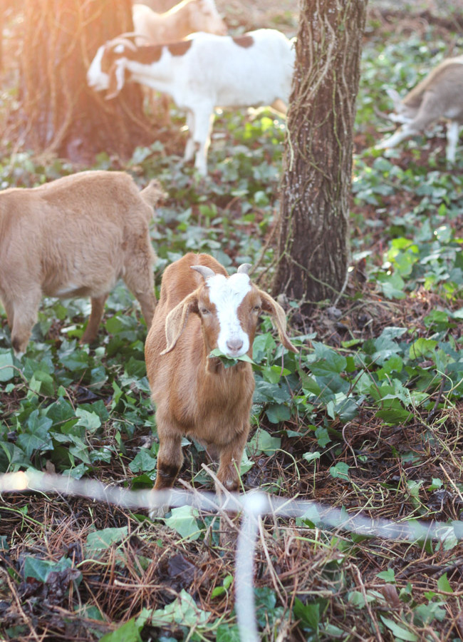 That Time We Rented a Herd of Goats for Ivy Removal